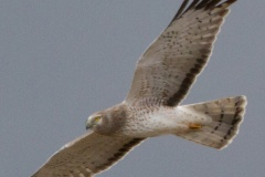 MG_5918-Northern-Harrier-male