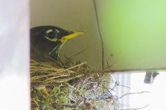 MG_5940-Robin-in-nest