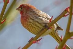 MG_6035-House-Finch-male