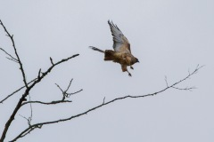 MG_6077-Red-Tailed-Hawk