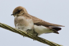 MG_6209.-Northern-Rough-Winged-Swallow