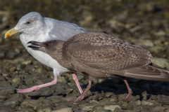 MG_6271-Glaucous-Winged-Gull-with-1st-year-juvenile