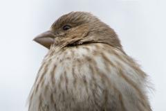MG_6311-House-Finch-female