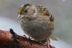 MG_6348-Gold-Crowned-Sparrow