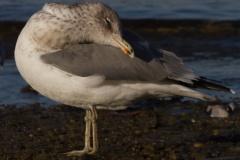 MG_6374-California-Gull