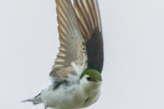 MG_6537-Violet-Green-Swallow