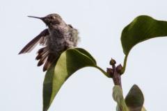 MG_6655-Annas-Hummingbird