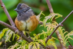 MG_6688-2-juvenile-spotted-towhee