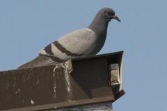 MG_6706-Rock-Dove-mature
