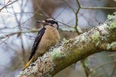 MG_6745-female-Hairy-Woodpecker