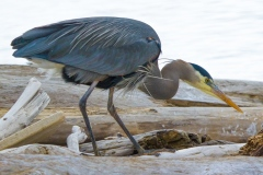 MG_6783-Great-Blue-Heron