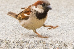 MG_6810-male-House-Sparrow