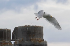 MG_6836-2-Glaucous-Winged-Gull