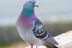 MG_6868-Rock-Dove