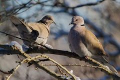 MG_6967-Eurasian-Collared-Dove
