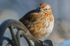 MG_6997-Song-Sparrow