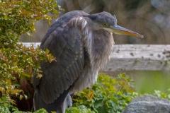 MG_7066-Great-Blue-Heron