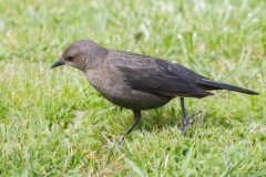 MG_7108-Brewers-Blackbird-female