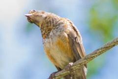 MG_7134-juvenile-Robin