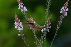 MG_7327-female-Rufous-Hummingbird