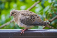 MG_7421-mourning-dove