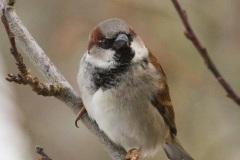 MG_7498-House-Sparrow