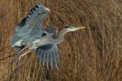 MG_7532-Great-Blue-Heron