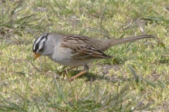 MG_7662-White-Crowned-Sparrow