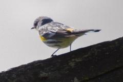 MG_7686-2-Yellow-Rumped-Warbler-Audubon