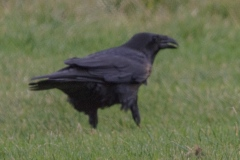 MG_7733-Raven