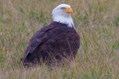 MG_7743-American-Bald-Eagle