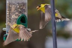 MG_7758-Goldfinch