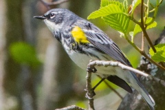 MG_7872-Yellow-Rumped-Warbler-Myrtle