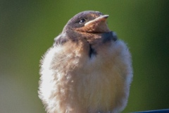 MG_7918-Barn-Swallow-fledgling