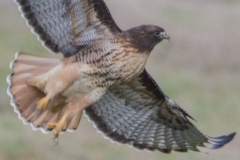 MG_7950-Red-Tailed-Hawk