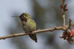MG_8131-Annas-Hummingbird-male
