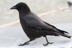 MG_8171-American-Crow
