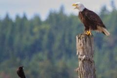MG_8173-Bald-Eagle-and-Crow