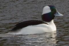 MG_8190-Bufflehead-male
