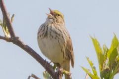 MG_8191-Savannah-Sparrow