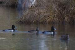 MG_8362-Ring-Necked-Ducks