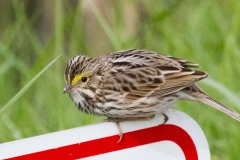 MG_8457-Savannah-Sparrow