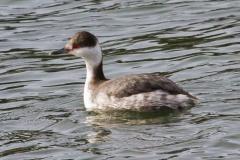 MG_8742-Horned-Grebe-non-breeding-plumage