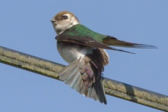 MG_8842-Violet-Green-Swallow-female