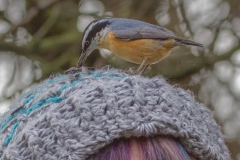 MG_8855-Red-Breasted-Nuthatch