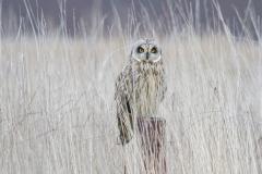 MG_8871-Short-Eared-Owl
