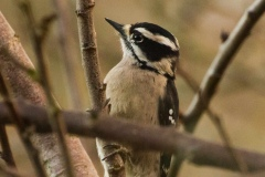 MG_8912-female-Downy-Woodpecker