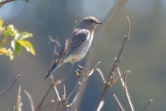MG_8953-Mountain-Bluebird-female