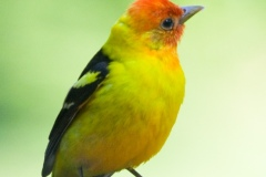 MG_9067-Western-Tanager