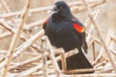 MG_9279-Red-Wing-Blackbird
